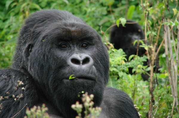 How to Save Mountain Gorillas