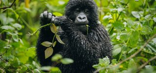 Gorilla Conservation in Virunga