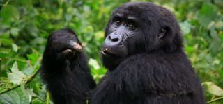 Best Gorilla Tracking Rules