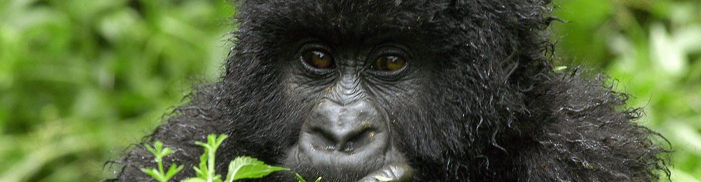 Virunga Gorilla Trekking Gorillas