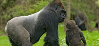 4 Days Lowland Gorilla Tracking