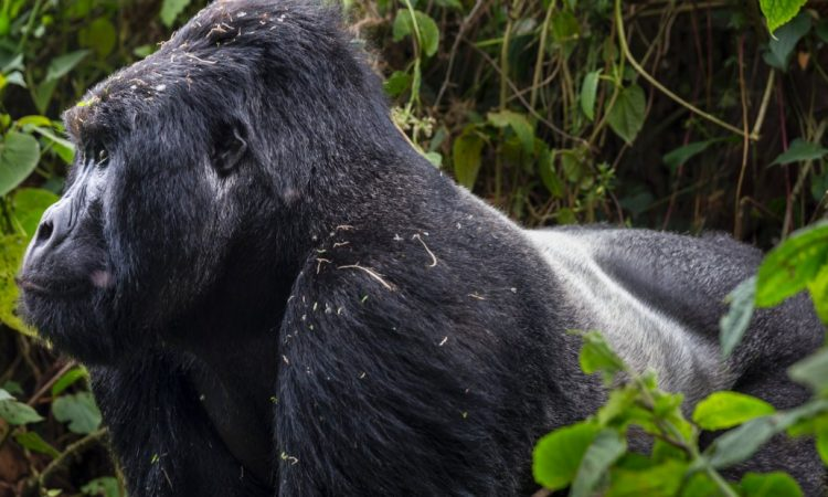 Best Places to see Gorillas in Africa