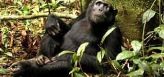 Chimpanzee Habituation in DRC