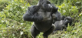 What to do when a gorilla charges on you