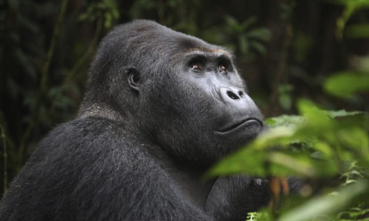 Difference between Lowland Gorillas and Mountain Gorillas
