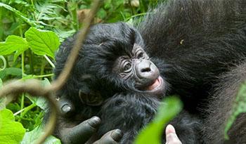 Virunga Gorilla Trekking Families